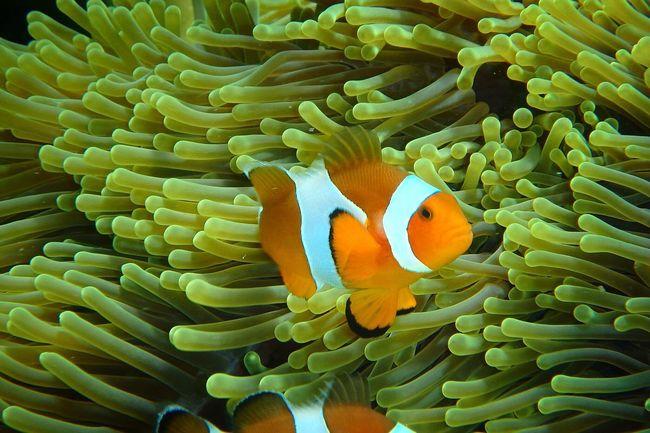 Nemo Fish Nemo Crownfish Sea Ocean Underthesea Thailand Olympus