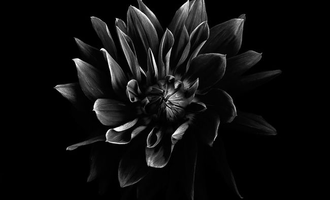 Black And White Close-up Elégance Flower Flower Head Focus On Foreground Full Frame Low Key Macro Marcokleinphotography Nature No People Softness