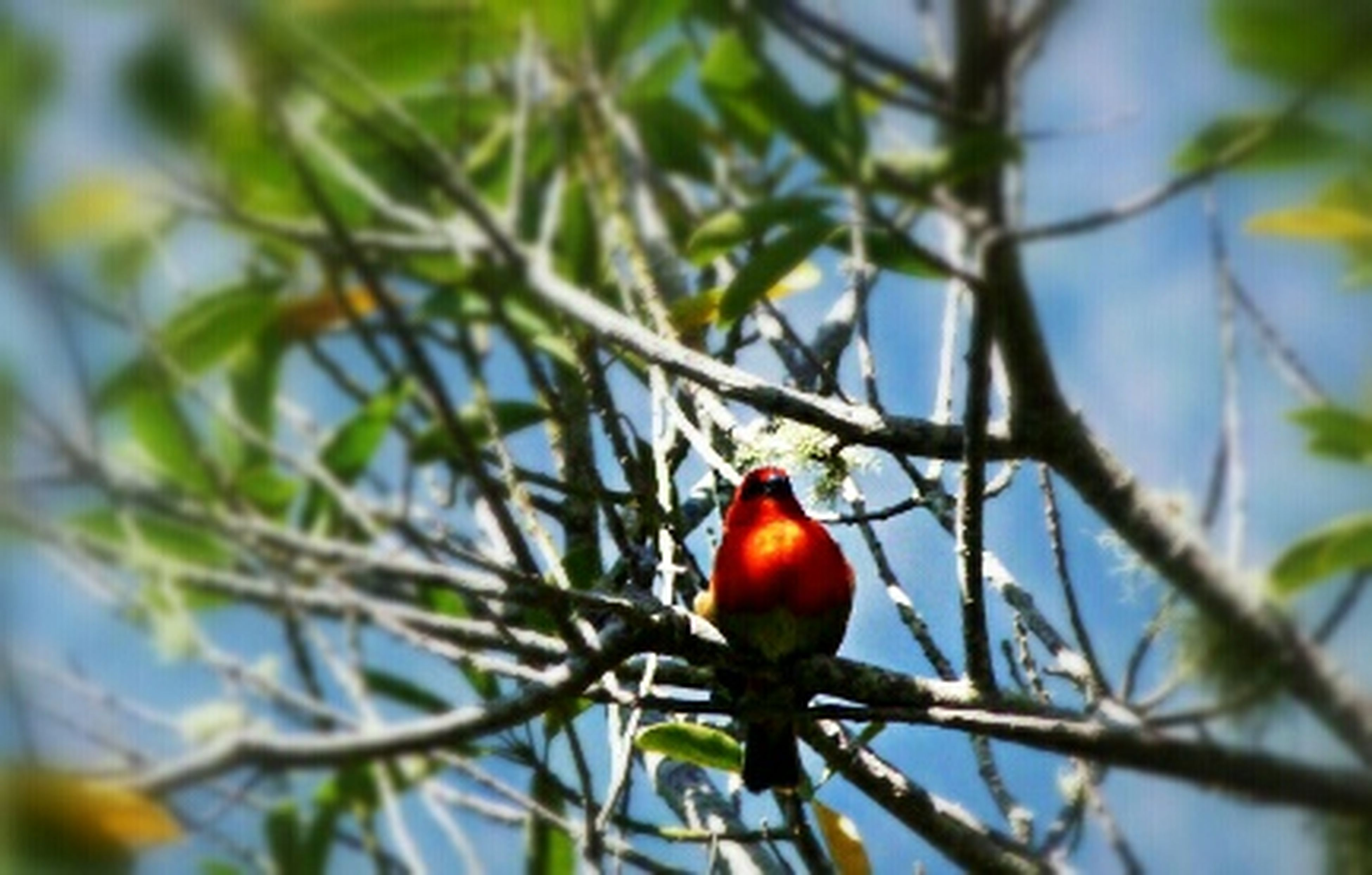 branch, animal themes, animals in the wild, tree, fruit, wildlife, one animal, bird, red, perching, focus on foreground, low angle view, food and drink, nature, leaf, close-up, food, hanging, growth, day
