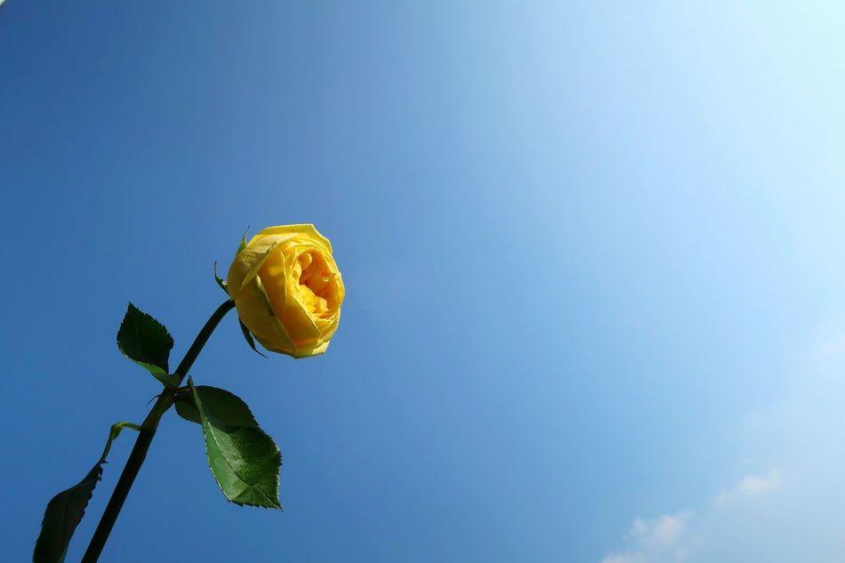 No People Sky Outdoors Korea South Korea Flower Nature Rosé Yellow Rose South Korea Spring