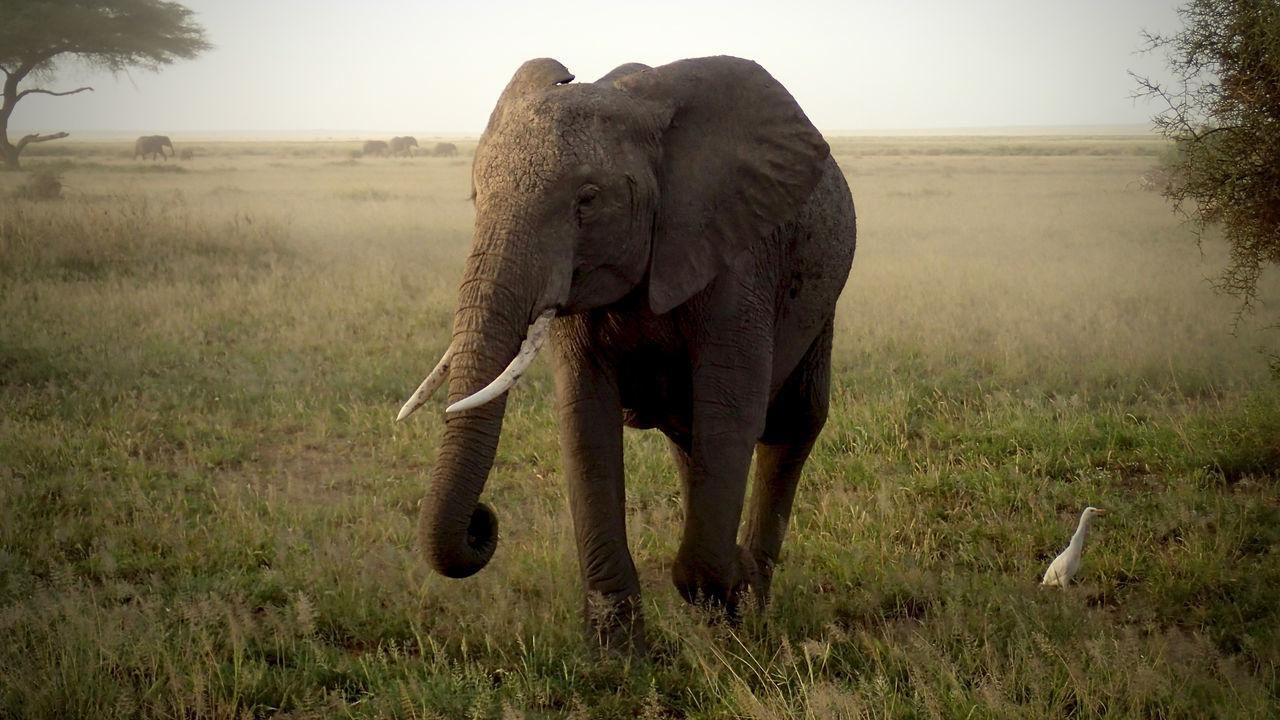 Beautiful stock photos of elefant, African Elephant, Amboseli National Park, Animal Themes, Animal Wildlife