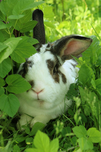 Brown and white rabbit,plant-eating mammal, with long ears, long hind legs, and a short tail, is sitting in the grass Animal Themes Animals In The Wild Bunny  Close-up Dandelion Day Domestic Animals Eating Field Grass Green Color Growth Leaf Mammal Nature No People One Animal Outdoors Pets Plant Portrait Rabbit Summer Wildlife