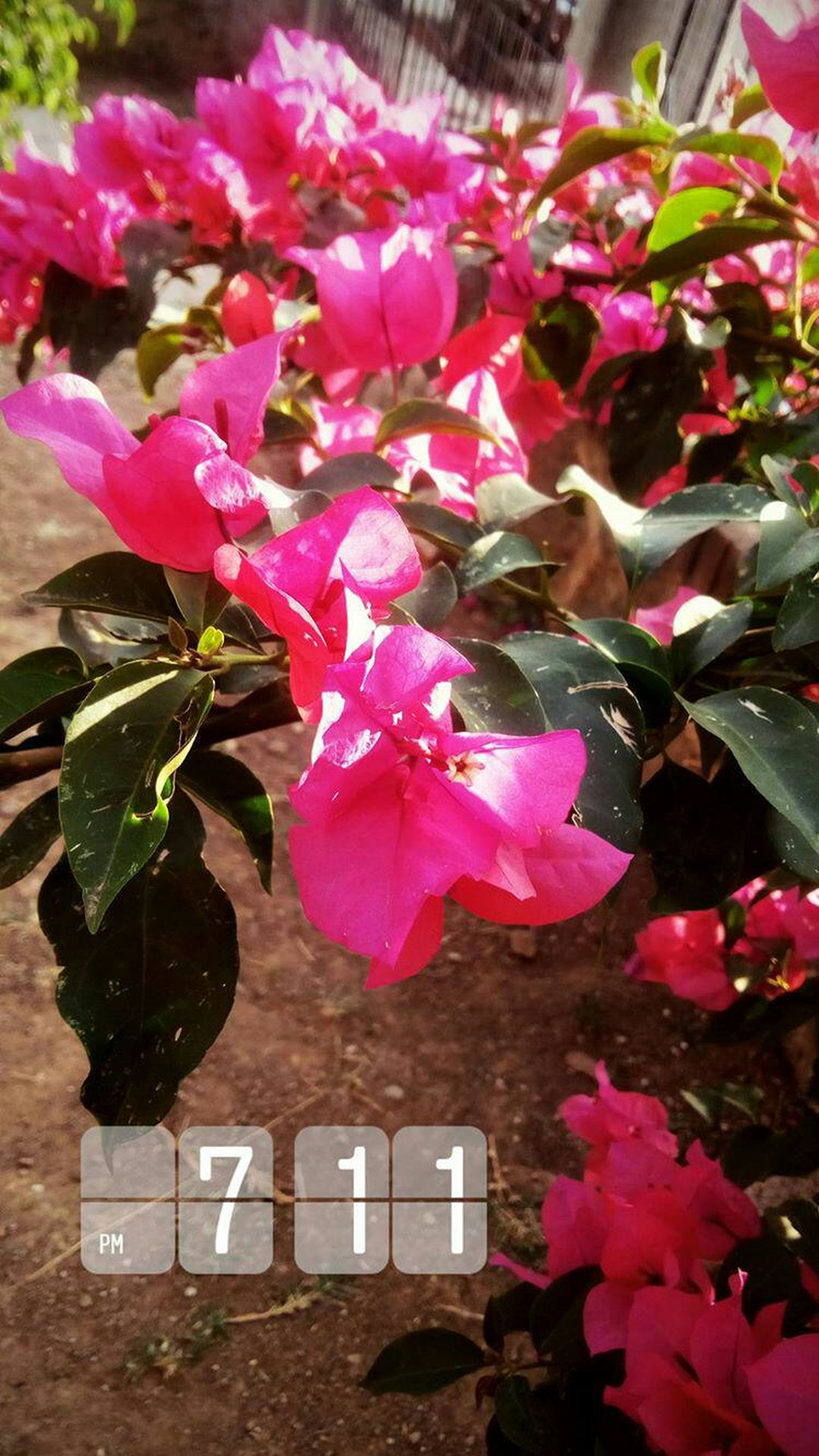 flower, pink color, petal, growth, beauty in nature, fragility, nature, no people, plant, blooming, freshness, outdoors, flower head, day, leaf, close-up, bougainvillea, periwinkle