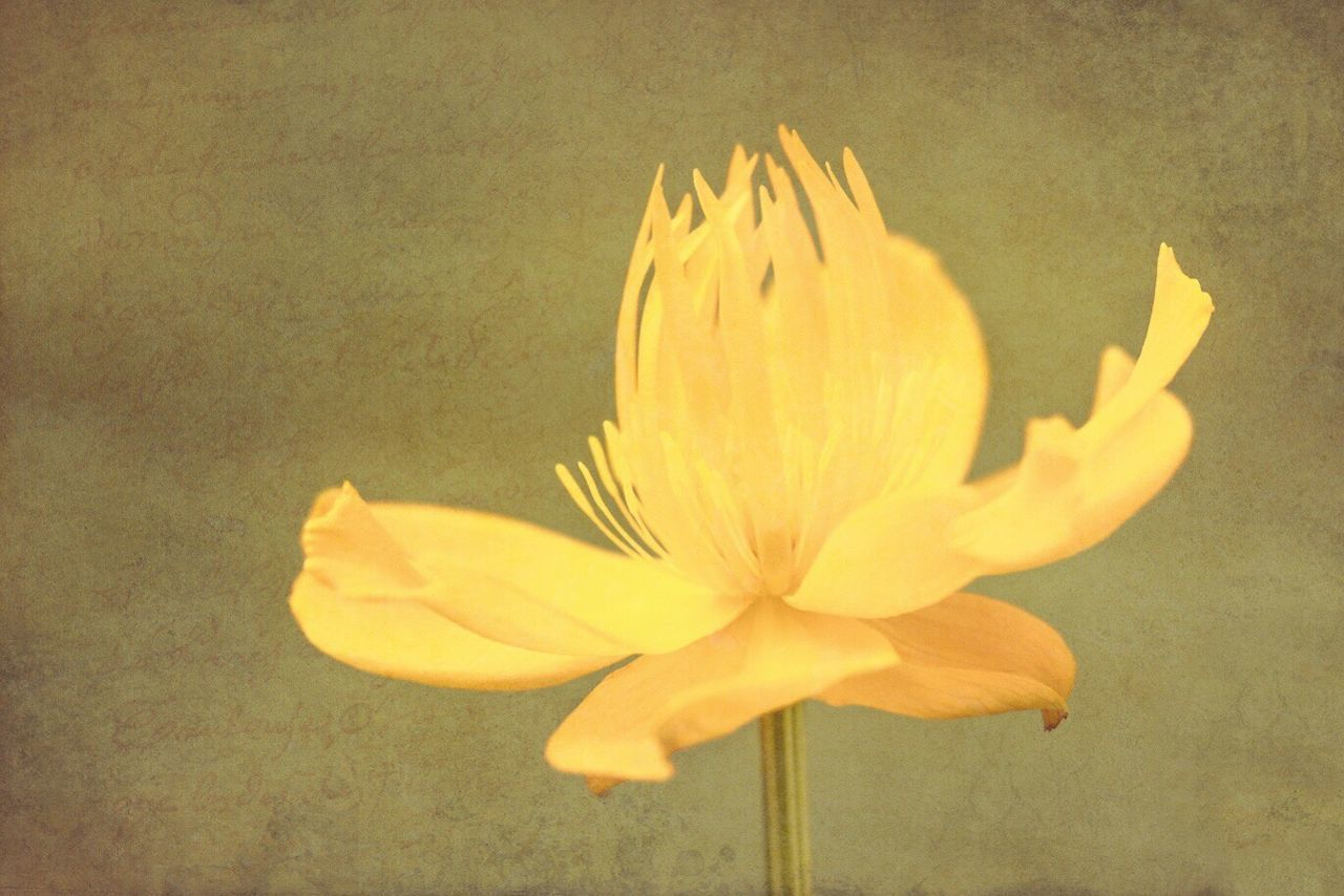 flower, petal, yellow, flower head, fragility, freshness, nature, beauty in nature, close-up, growth, no people, blooming, outdoors, day