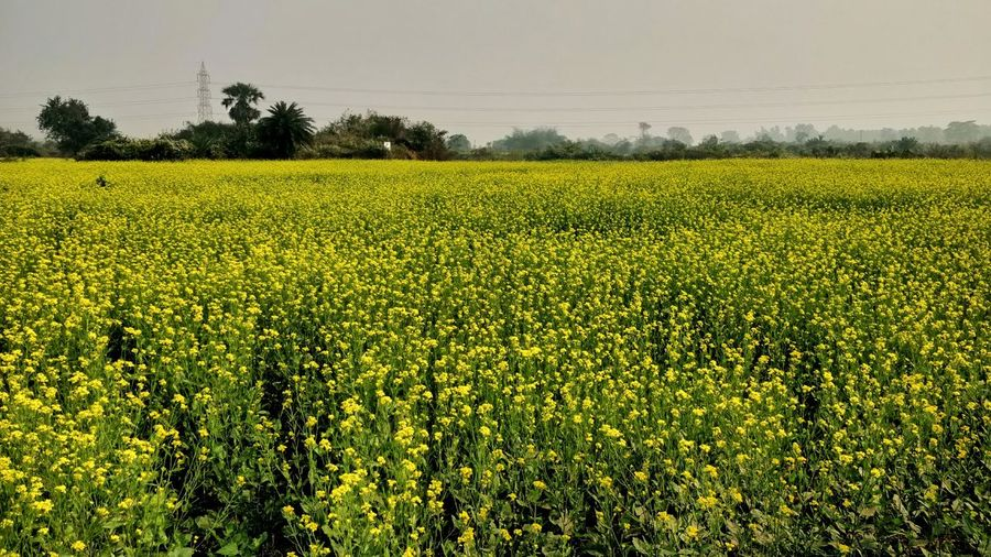 Mustard Plant Yellow Color Agriculture Crop  Field Rural Scene Nature Growth Beauty In Nature Freshness Outdoors Day No People Food Landscape