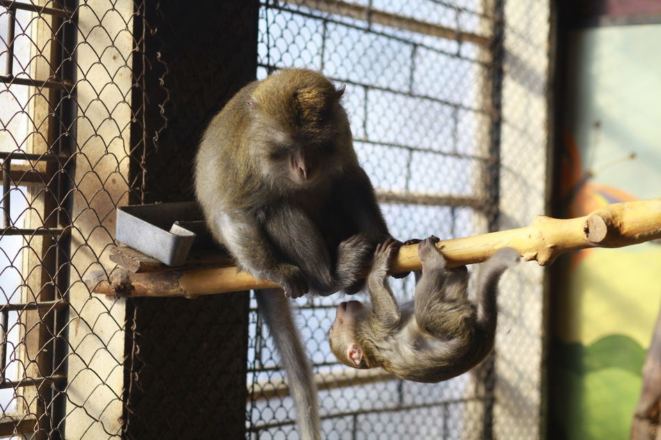 Animal Themes Animal Wildlife Animals In Captivity Animals In The Wild Cage Day Full Length Mammal Monkey Monkey Business Monkeys Nature No People One Animal Orangutan Outdoors Playing Primate Together Togetherness Tree