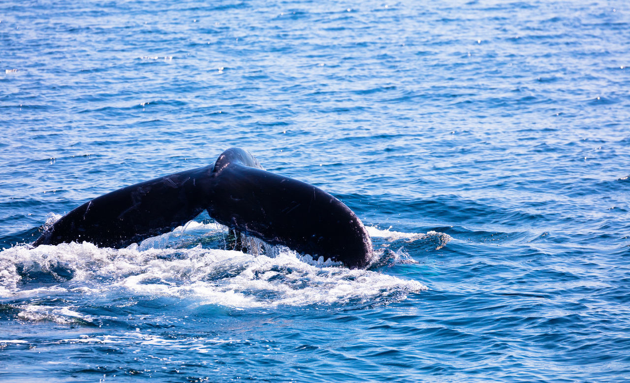 Beautiful stock photos of blue whale,  Animal Wildlife,  Animals In The Wild,  Aquatic Mammal,  Beauty In Nature
