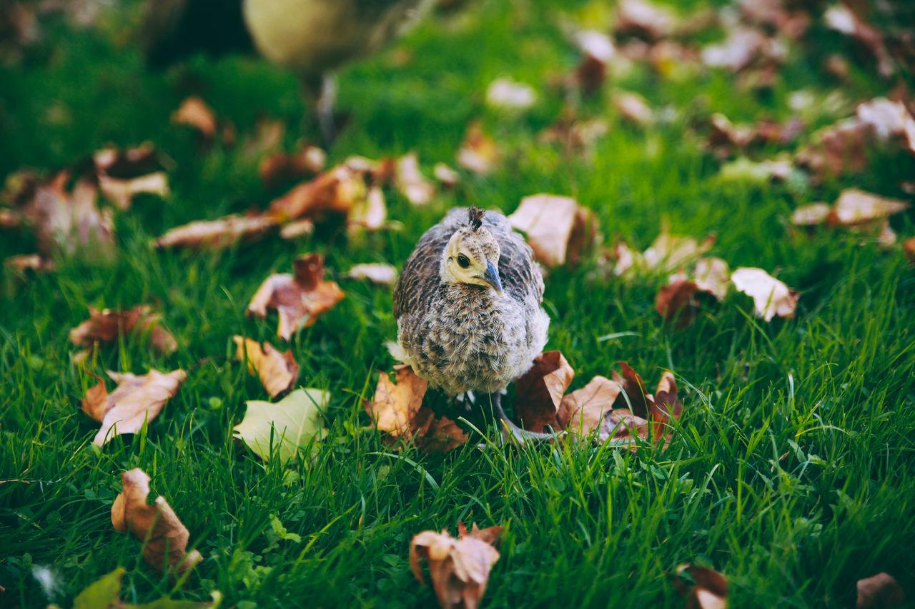 Beautiful stock photos of pfau, Animal Themes, Animal Wildlife, Animals In The Wild, Autumn
