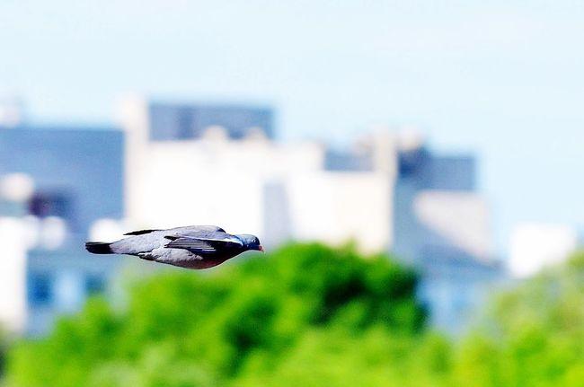 pigeon fast as a bullet Eye4photography  Nature Birds In Flight Bird EyeEm Birds
