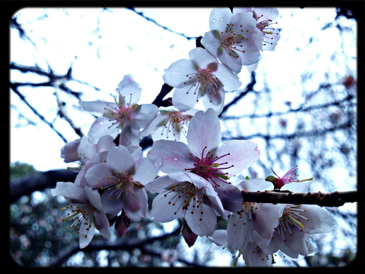 blossom, flower, cherry blossom, fragility, springtime, tree, beauty in nature, branch, apple blossom, botany, cherry tree, orchard, apple tree, growth, nature, freshness, petal, stamen, white color, plum blossom, twig, flower head, almond tree, day, no people, selective focus, low angle view, pollen, outdoors, close-up, blooming, sky