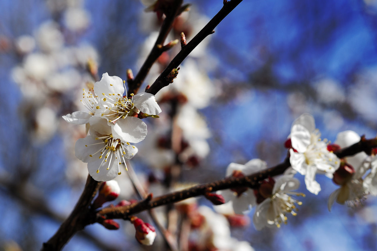 Apricot Apricot Flowers Apricot Tree ApricotBlossom Beauty In Nature Blossom Botany Branch Close-up Day Flower Flower Head Fragility Freshness Growth Nature No People Orchard Petal Plum Blossom Springtime Stamen Tree Twig White Color