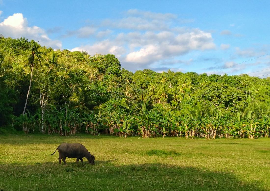 Ang Kalabaw sa Argao. Animal Themes Cloud - Sky Landscape Sky Mammal Green Color Nature Grass One Animal Grazing Rural Scene Beauty In Nature Province Provincelife Animals