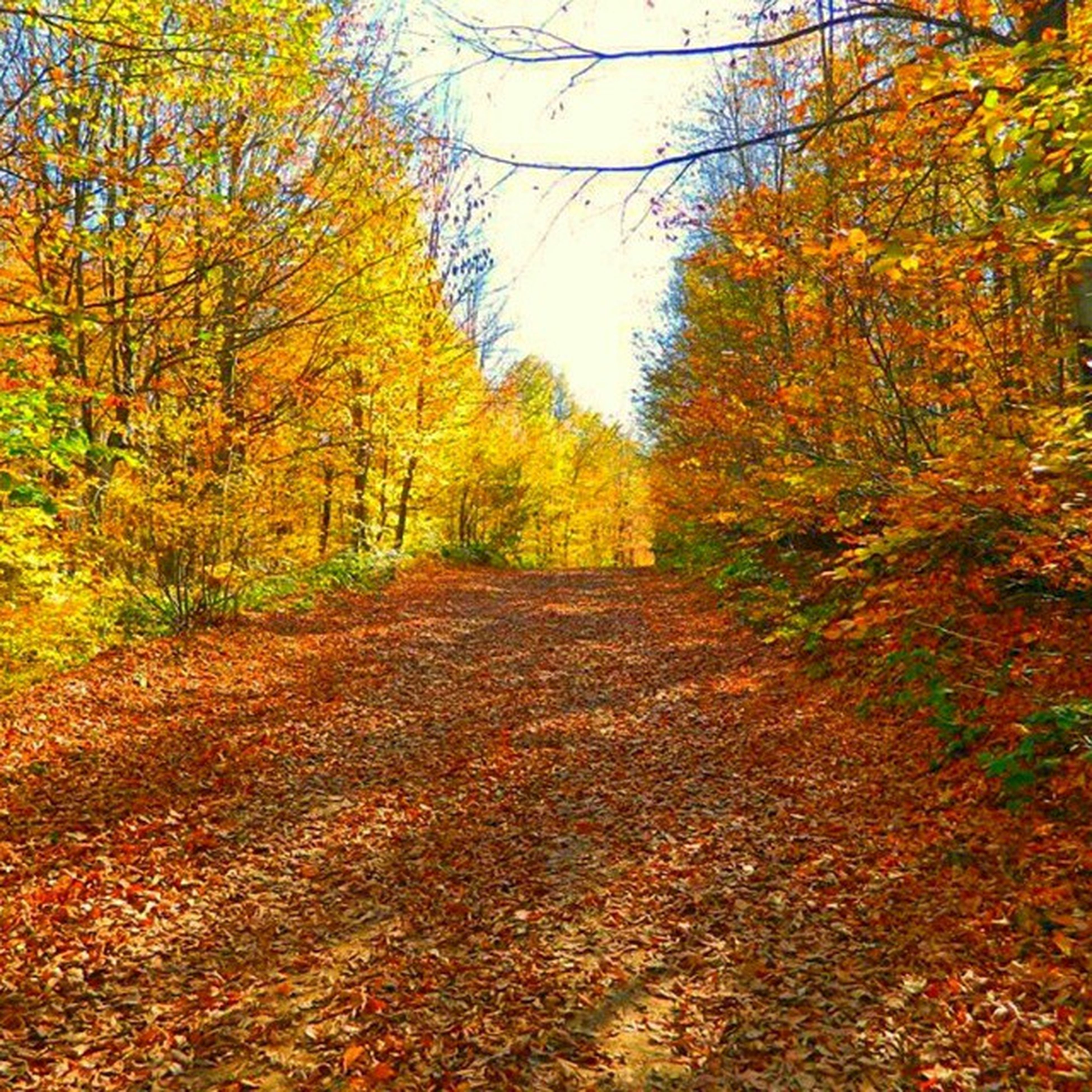 autumn, tree, change, the way forward, season, tranquility, diminishing perspective, nature, orange color, tranquil scene, leaf, beauty in nature, vanishing point, growth, scenics, yellow, forest, footpath, branch, dirt road