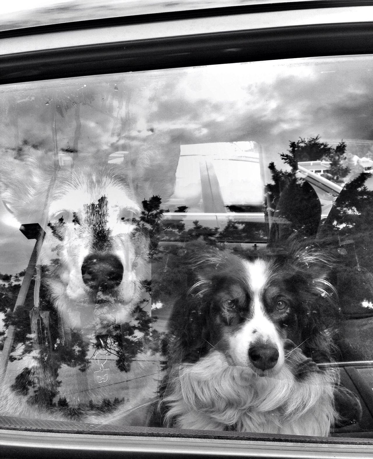 Dogs in Car Window Series - 2 EyeEmBestPics AMPt Community EyeEm Masterclass EyeEmbestshots