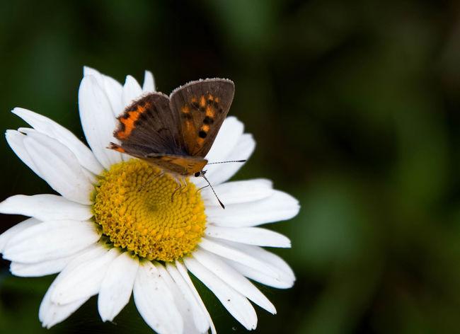 蝶々(名前わかりませんが)とまっていたので大胆にトリミング。純正とはいいません。TAMRONでいいんで70-200のレンズが欲しい… 標準ズームじゃ場所によっちゃ近くよれないからね。 Flowerporn Flower Collection Flower あじさいの杜 二本松寺 マーガレット Marguerite Nature Nature Photography Butterfly