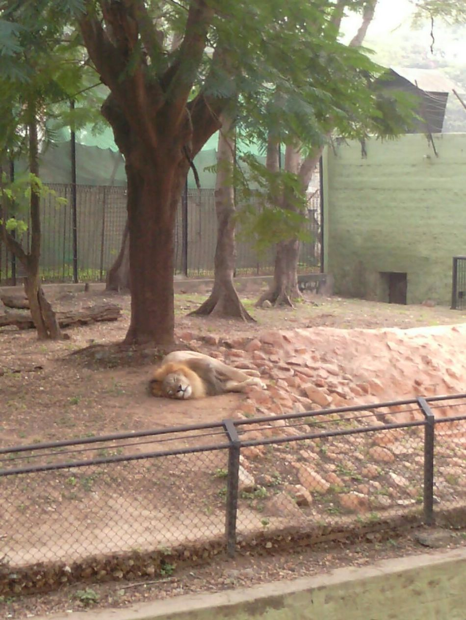 Sleeping Lion It Looks So Awesome Majestic Creature Royal Animal Sleeping In Peace Taking Photos Love ♥ Love To Take Photos ❤ Mysore Zoo Check This Out