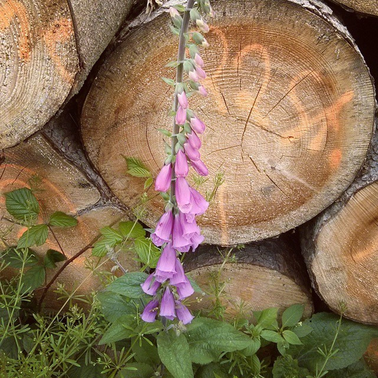 Flower Foxglove Flowers Blossoms  Tree_trunks Nature Outdoors Idyllic Non-urban Scene