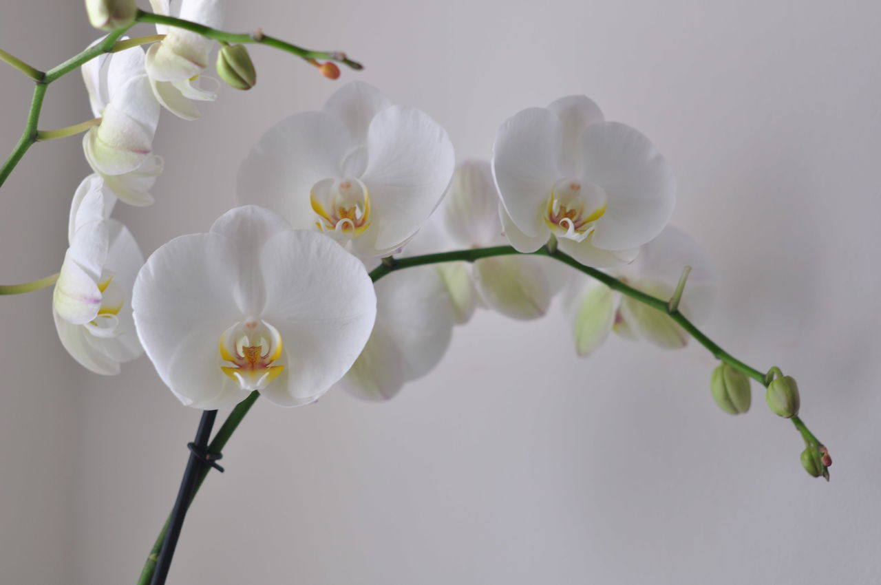 Beautiful stock photos of plant, Blooming, Blossoming, Cultivated, Decoration