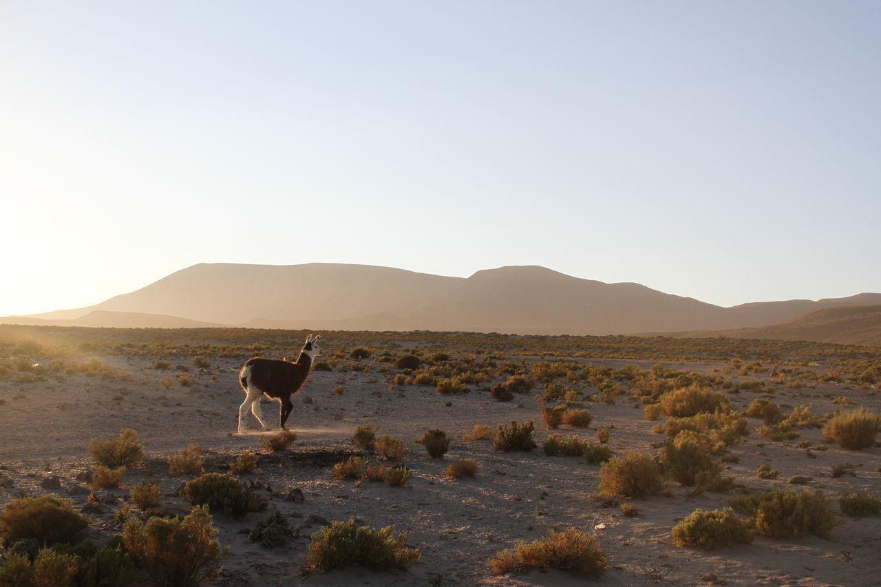 Beautiful stock photos of llama, Animal Themes, Animal Wildlife, Animals In The Wild, Beauty In Nature