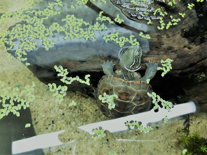 8months Baby Dreikiel-Wasserschildkröte Marsi Marsimoto Aquarium Aquarium Life No People Turtle Water