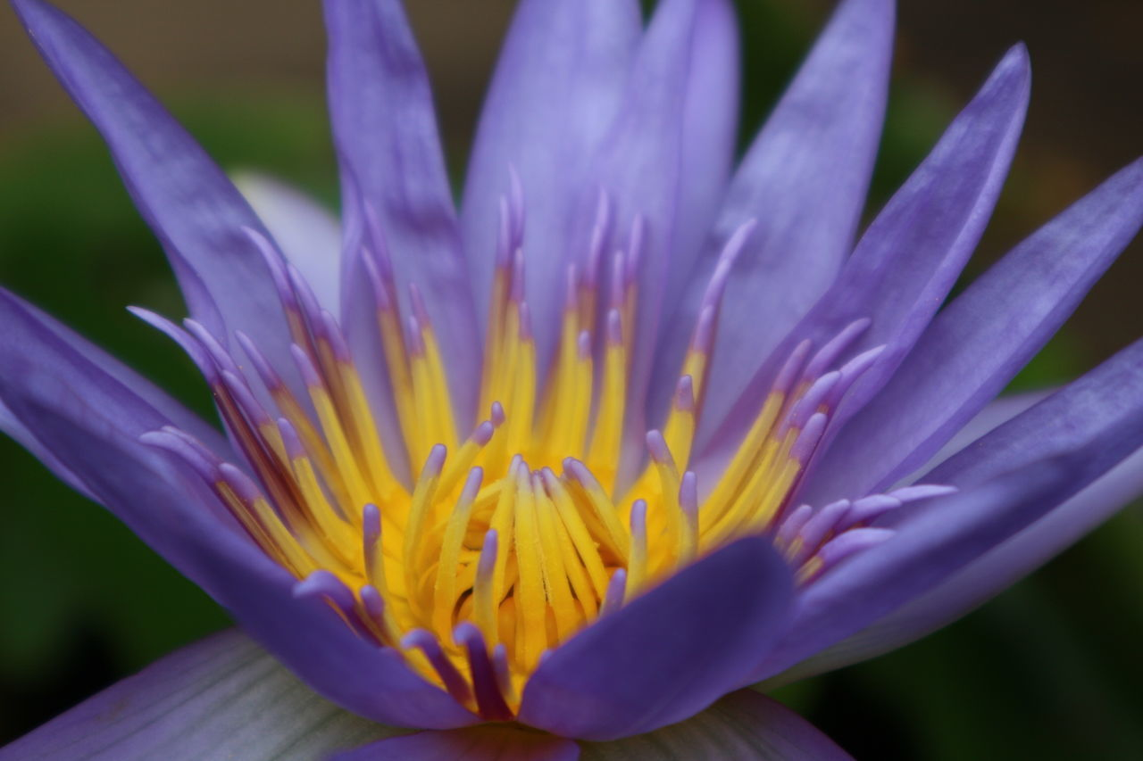 Essence Of Summer EyeEm Flower Flower Collection Lotus Flower Purple Flower Purple Lotus Yellow Close-up Closeupshot