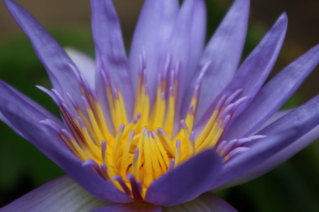 Essence Of Summer Flower Collection Lotus Flower Purple Flower Purple Lotus Yellow Close-up Closeupshot