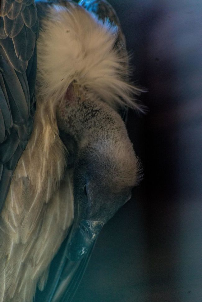 grifo bird Animal Body Part Animal Hair Animal Head  Close-up Day Feather  Focus On Foreground Growth Mammal Nature No People