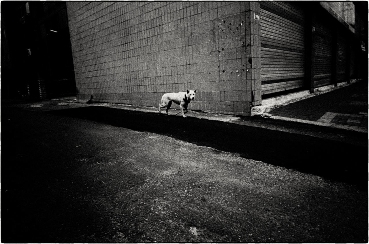I saw this dog leaving my apartment. It had broken off its leash which was trailing behind. I had a Ricoh compact on the car seat. I still remember seeing the negative for the first time. ASIA Documentary Photography EyeEm Korea EyeEm ready EyeEmNewHere Korea Seoul Seoul, Korea buyfilmnotmegapixels dog filmisnotdead jtinseoul kodak tmax 400 lensculture shootfilm street photography streetphoto_bw streetphotography