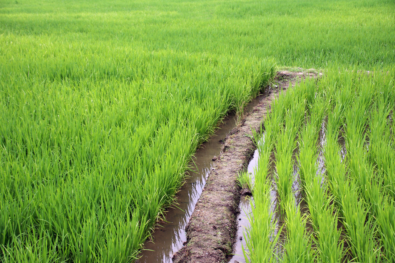 agriculture, growth, field, green color, grass, crop, farm, rural scene, nature, cultivated land, tranquility, landscape, cereal plant, tranquil scene, rice paddy, rice - cereal plant, day, scenics, plant, no people, beauty in nature, outdoors, the way forward, tire track, ear of wheat, wheat