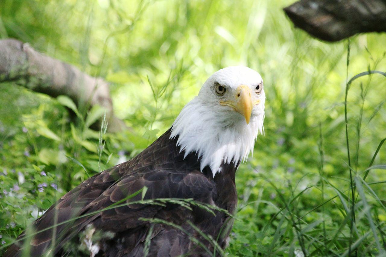 Beautiful stock photos of bald eagle, Animal Body Part, Animal Head, Animal Themes, Animals In The Wild