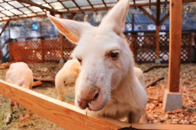 White Kangaroo Cute♡ Japan