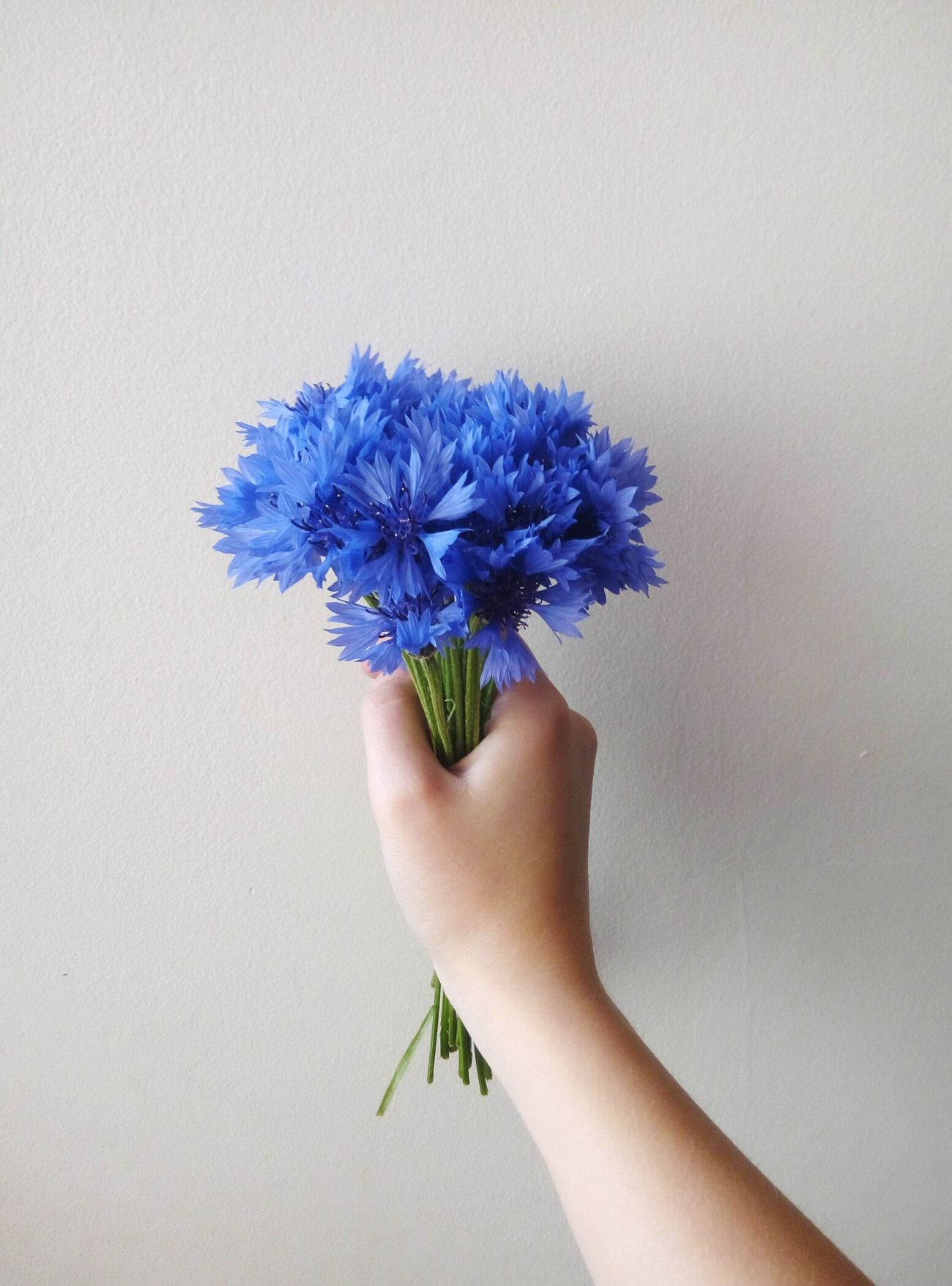 The Essence Of Summer Nature's Diversities Summer Mood Summer Coming Blue Flowers White Blue&white White Background Hand Holding Bouquet Bouquet Of Flowers Cornflowers Flowerporn