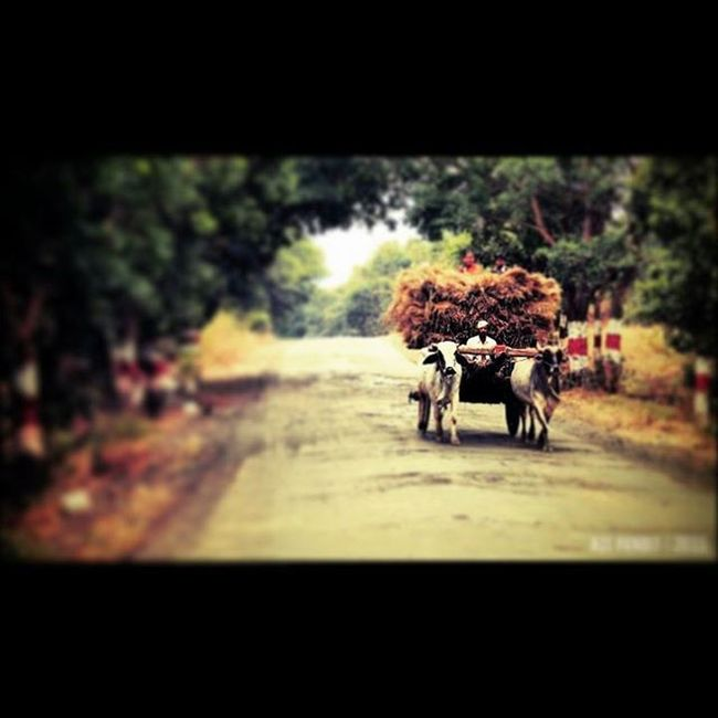 Ox Carters, outskirts of Nashik. I was on a short day trip with a few of my mates and we were taking a stroll through this village, about some 50 kms from Nashik city. It was really peaceful. No cars, bikes and those ugly buses and their deafening honking sounds. Just then, this Ox Cart came by us. It was kind of pleasant, because it had been ages since I had seen an Ox Cart. Couldn't resist to click it. ________________________________ Ashuttertale _soi _coi _hoi Storiesofindia Travel Travelling Travellers Vagabond @feature.india Desi_diaries India Indiaclicks Igramming_india _oye Iwanderwhy Mypixeldiary Indiatravelgram Indianphotographyclub India_gram Capture_india Indiapictures Ig_india Streets Streetphoto Maharashtra_ig indianphotography village oxcart Stay tuned on our blog theshuttertales.wordpress.com