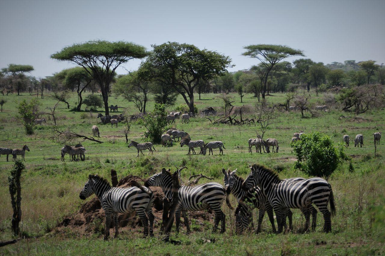 Serengeti Animals In The Wild Day Landscape Large Group Of Animals Mammal Nature No People Outdoors Serengeti National Park Sky Tanzania Tree Zebra