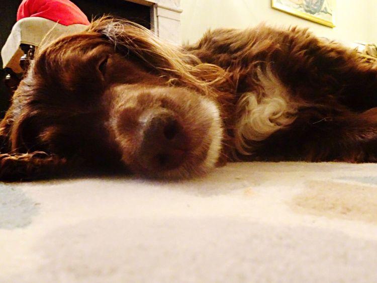 Night Night, Sleep Tight Dog Spaniel Field Spaniel Brown Dog Sleeping Dog