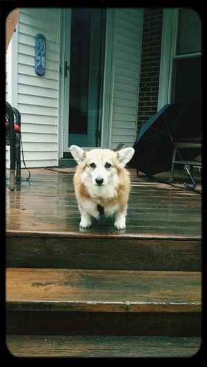 Pembrokewelshcorgi Cute Puppy Ilovemydog