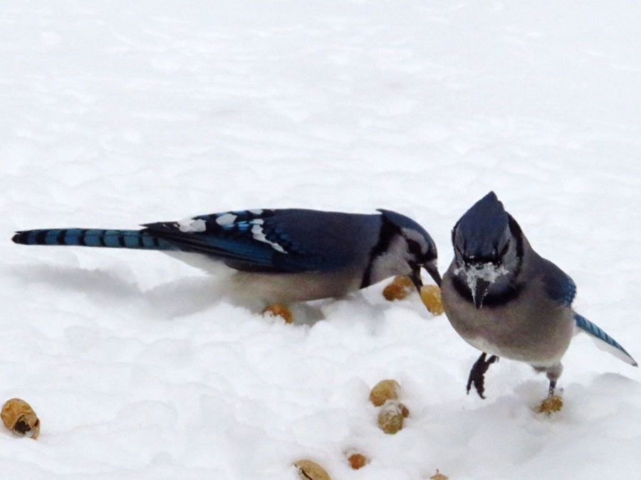 Animal Themes Bird Snow Winter Animals In The Wild Cold Temperature White Color Nature Food And Drink Animal Wildlife Food Beauty In Nature Bluejays Avian Day Outdoors Perching
