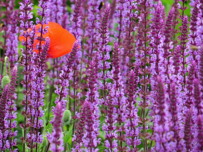 Beauty In Nature Beauty In Nature Bee Blooming Close-up Day Flower Flower Head Fragility Freshness Growth Insect Kew Gardens Lavender Field Lavender Flowers Nature No People One Animal Outdoors Petal Plant Pollination Poppy Flowers Purple Vibrant Color