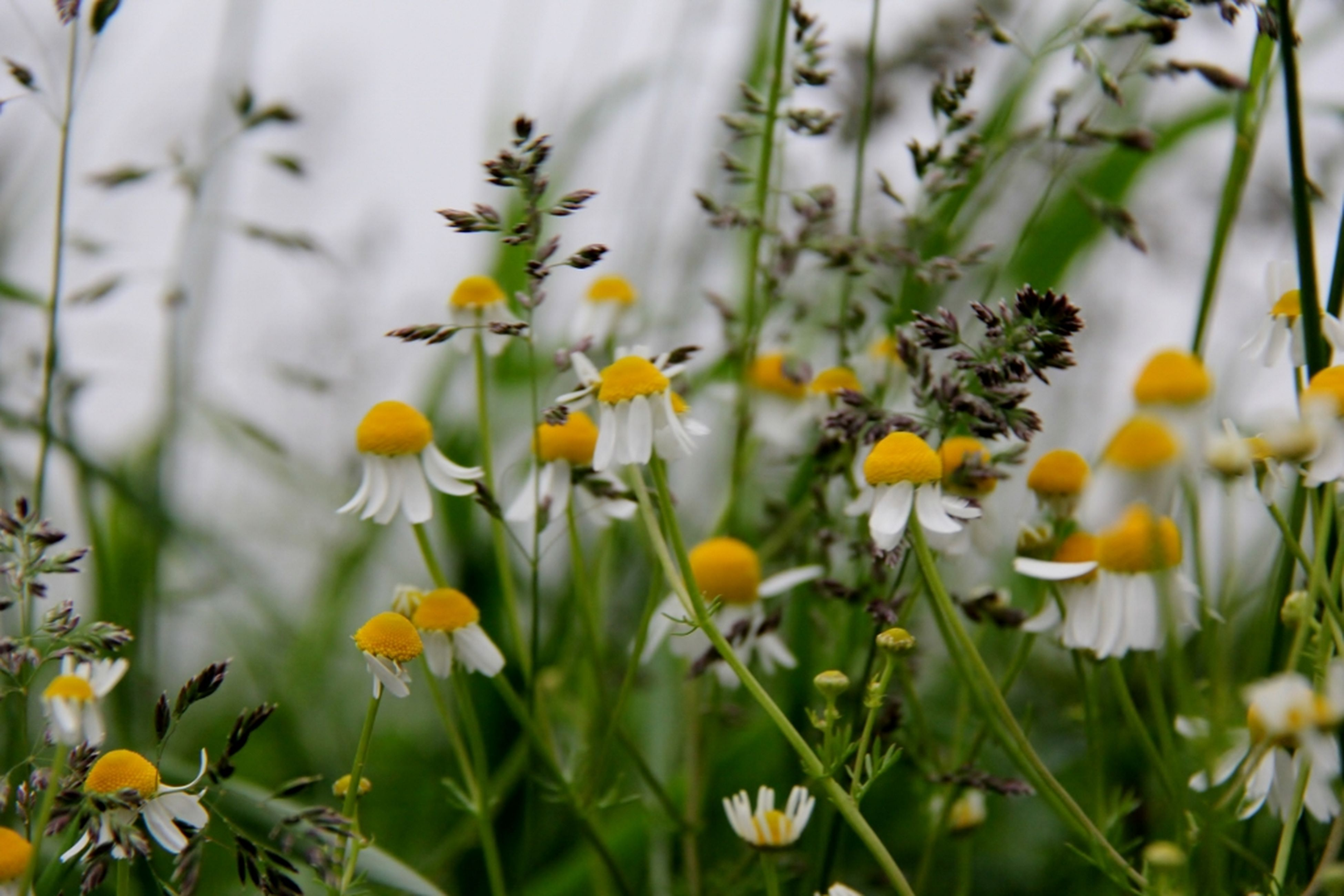 flower, freshness, yellow, growth, fragility, petal, flower head, beauty in nature, plant, blooming, nature, focus on foreground, close-up, stem, selective focus, in bloom, field, day, outdoors, no people