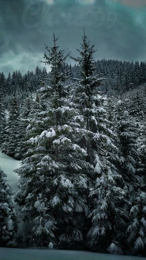Tree Winter Nature Cold Temperature Snow Outdoors Day No People Pinaceae Tranquility Sky Beauty In Nature Growth Low Angle View Landscape Forest Scenics Pines Forest Vintage Photography Snow Covered Trees Snowcapped Mountain Sunset And Clouds  Cloud - Sky Frozen Winter