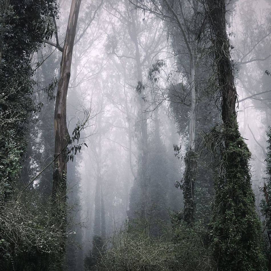 Tree Fog Forest Nature Landscape Spooky Tree Trunk Beauty In Nature Tranquility Winter Outdoors Day No People Tree Area Sutro Forest Open Edit Eucalyptus Forest Cloud Forest In The City Ivy Covered