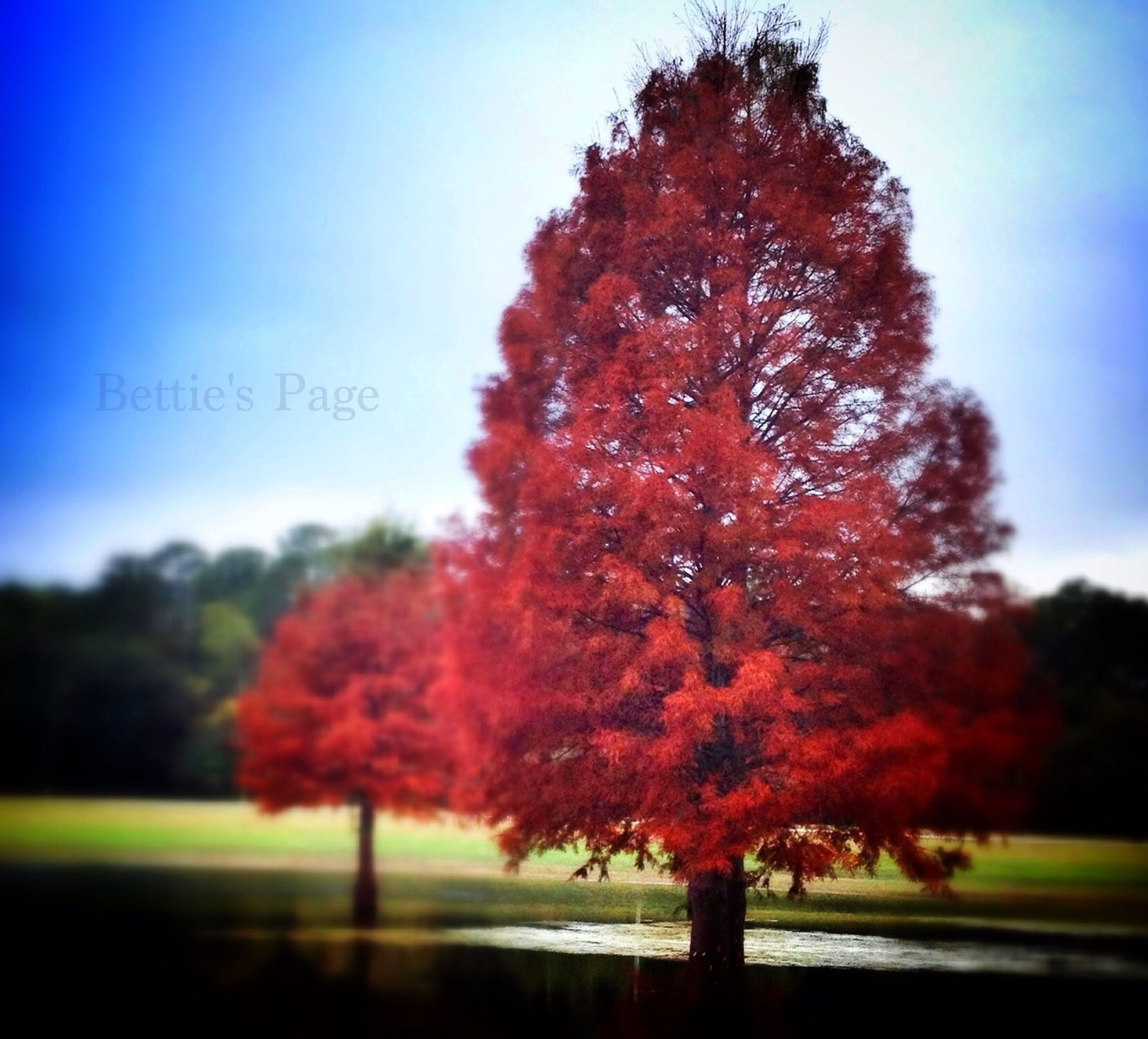 tree, autumn, change, season, tranquility, beauty in nature, nature, clear sky, sky, growth, tranquil scene, branch, scenics, focus on foreground, day, landscape, field, leaf, red, road
