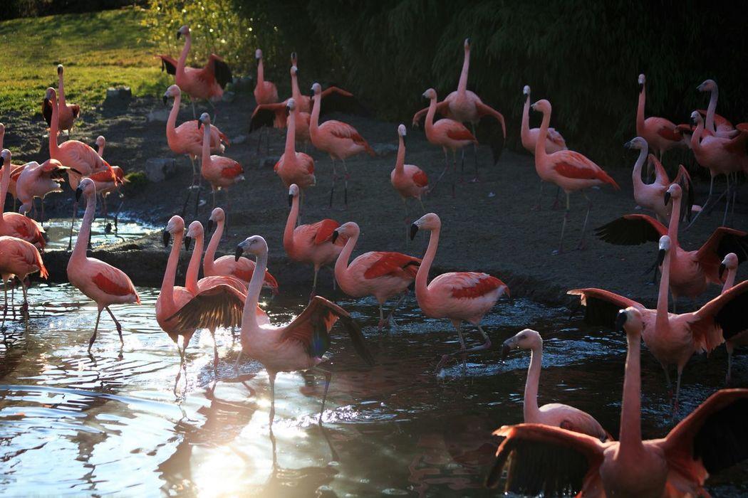 Flamingo Flamingos Flamingos In Water Flamingos Up Close Flamingo At The Zoo Flamingoes Flamingo Beauty Flamingo Gardens Flamingobeach Large Group Of Animals Animals In The Wild Animal Themes Water Bird Lake Flamingo Flock Of Birds Nature Outdoors Swimming Zoo Zurich, Switzerland Sun