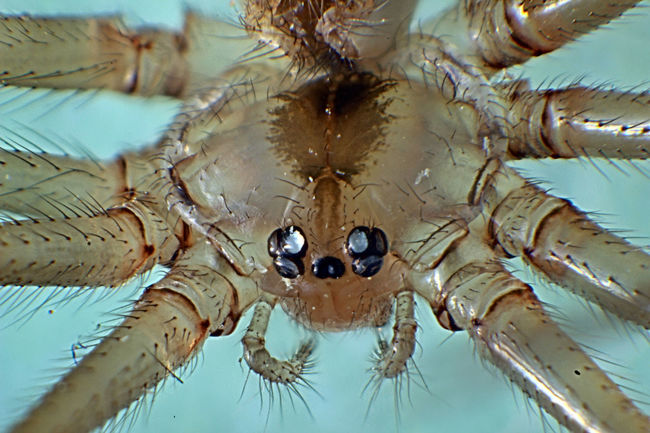 Pholcus Phalangioides Aracnida Araneae Arthropoda Extreme Close-up Extreme Macro Insect Macrophotography Insect Photography Low Angle View Macro Photography Pholcus Phalangioides Spider