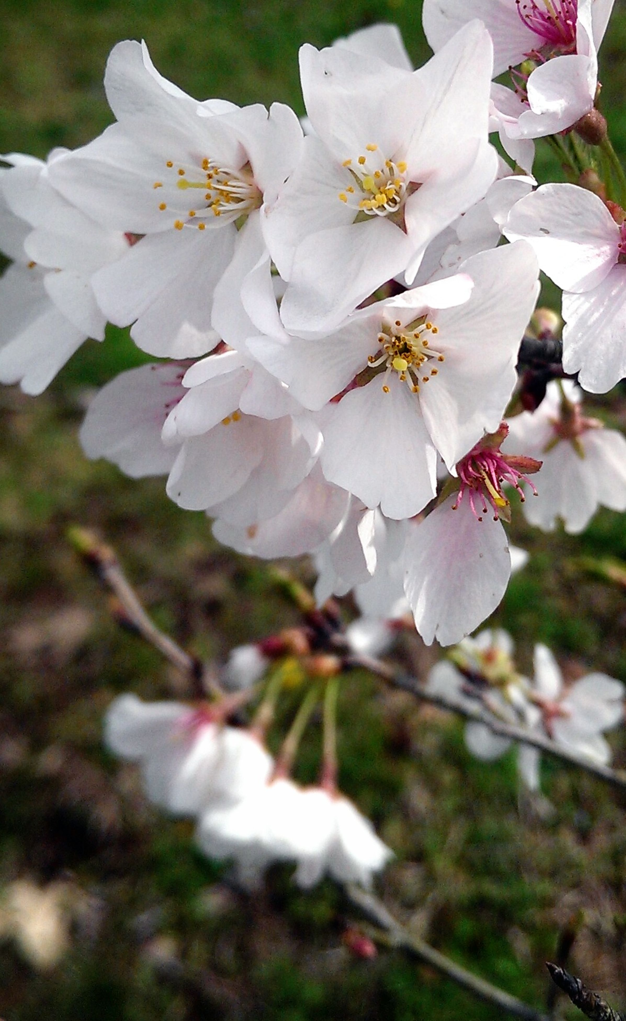 flower, freshness, petal, fragility, growth, flower head, white color, beauty in nature, focus on foreground, close-up, cherry blossom, blooming, nature, blossom, stamen, pollen, in bloom, tree, branch, day