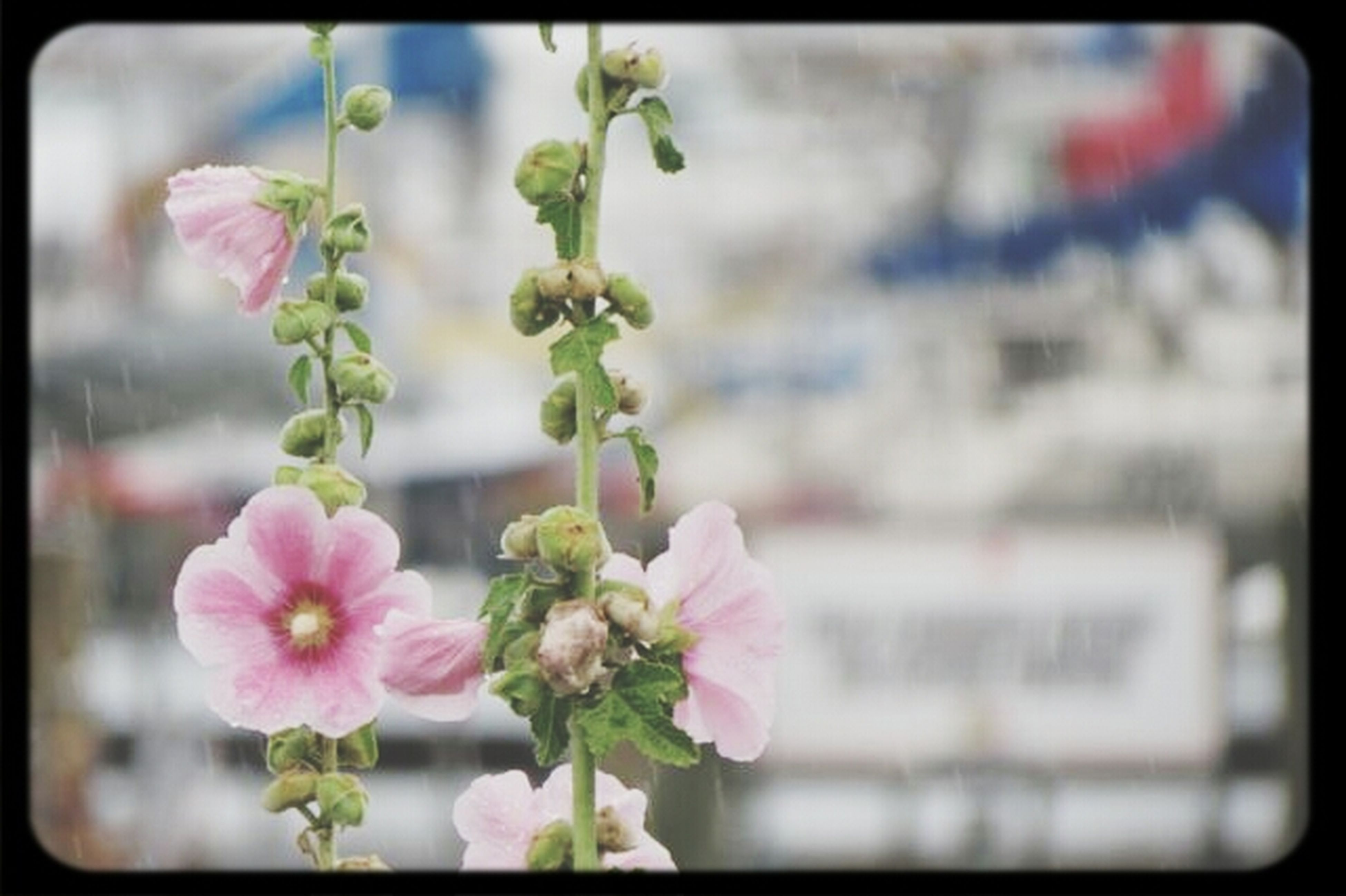 flower, transfer print, freshness, fragility, petal, growth, auto post production filter, pink color, flower head, close-up, focus on foreground, plant, beauty in nature, blooming, nature, in bloom, blossom, stem, day, bud