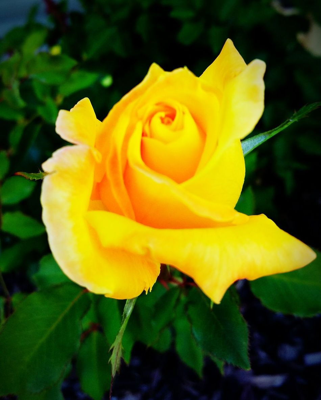 Yellow Rose Rosé Rose Bud Friendship. ♡   Pretty Rose  Rose Bud Blossum Blooming Flowerporn Roseporn Yellow Petals Close Up