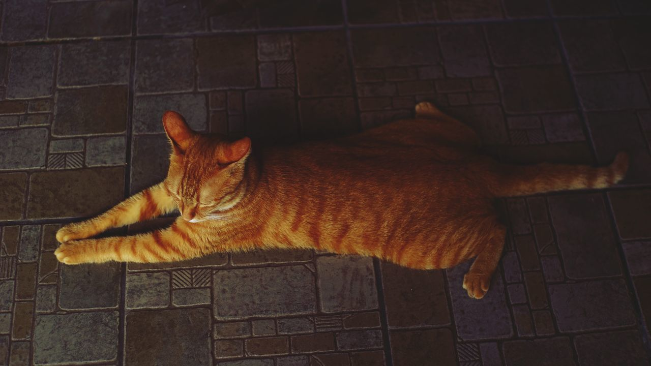 domestic cat, pets, domestic animals, feline, one animal, mammal, animal themes, cat, no people, ginger cat, indoors, portrait, day