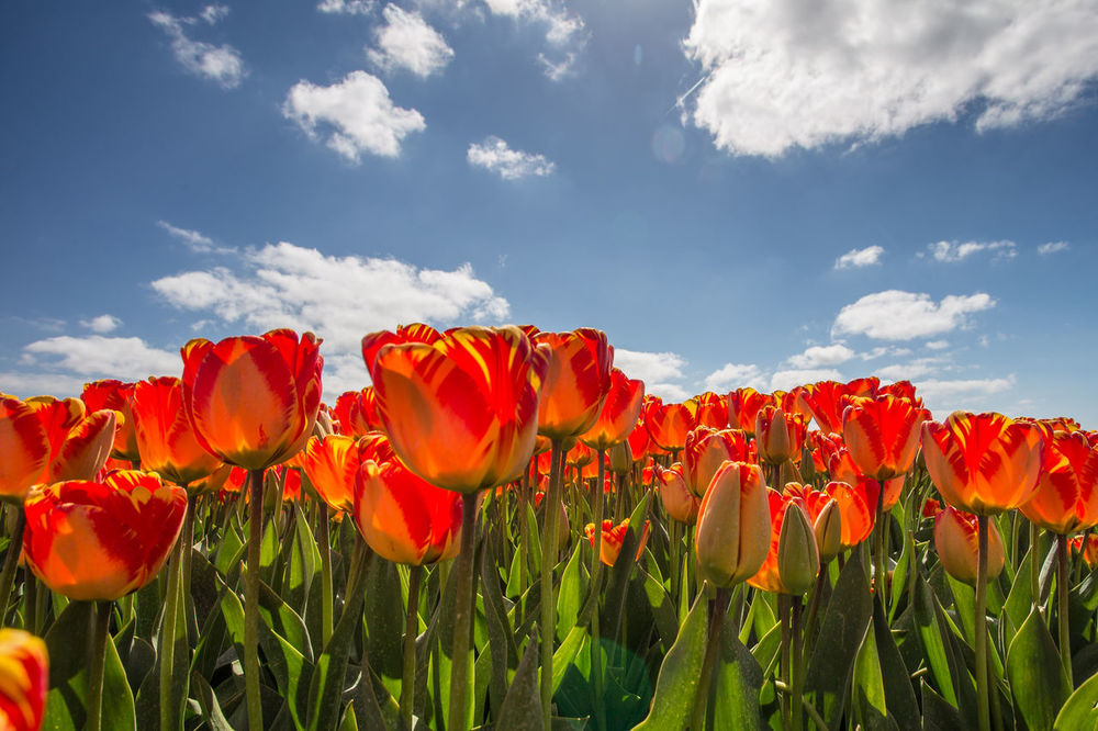 Flowering bulbs field Beauty Beauty In Nature Blue Botany Bulbous Plant Cloud - Sky Field Flower Flower Head Flowerbed Fragility Freshness Growth Landscape Leaf Nature No People Outdoors Plant Red Rural Scene Sky Spring Flowers Sunlight Tulips🌷