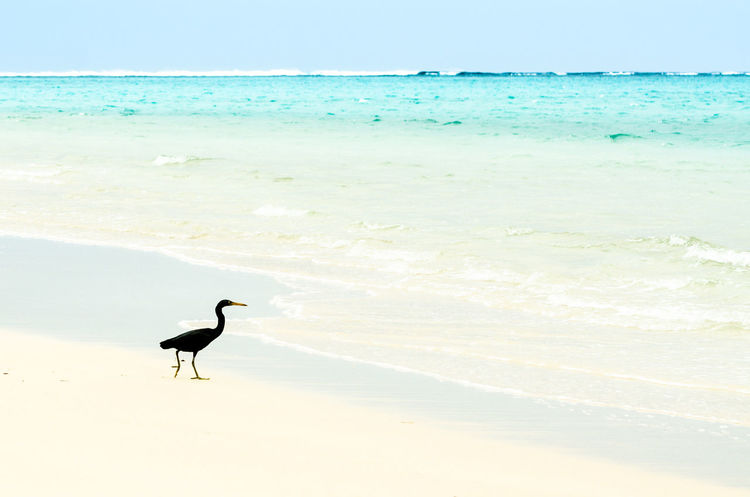 Animal Wildlife Animals In The Wild Beach Beauty In Nature Live For The Story Black Heron Clear Sky Day Heron Horizon Over Water Ningaloo Reef No People One Animal Outdoors Sand Scenics in Coral Bay, Australia Sky Water Western Australia Western Australia Beaches White Sand The Great Outdoors - 2017 EyeEm Awards Neighborhood Map Sommergefühle